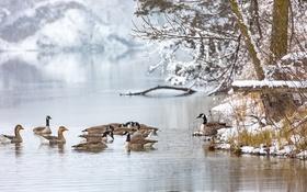 Обои зима, озеро, утки