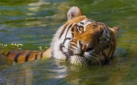Обои морда, тигр, хищник, купание