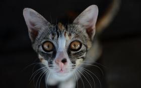 Обои глаза, кот, усы, кошак