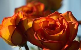 Картинка роза, макро, свет, солнце, бутон