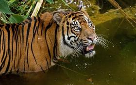 Обои водоём, суматранский, купание, тигр, взгляд, кошка