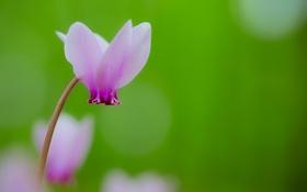 Обои цветок, розовый, нежность, первоцвет, цикломен, весенний цветок