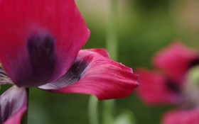 Картинка макро, цветы, красный, мак