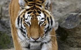 Обои амурский, морда, тигр, кошка