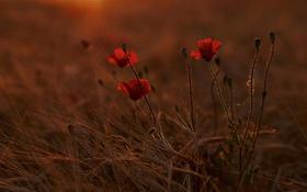 Обои поле, цветы, маки, вечер, луг