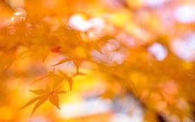 Обои осень, листья, ветки, клен