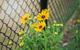 Обои цветы, стебли, забор, лепестки, бутоны