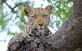 Обои взгляд, дерево, отдых, леопард