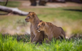 Обои grass, lions, animal
