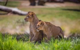 Картинка grass, lions, animal