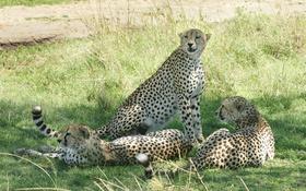 Обои трава, гепарды, кошки, тень, отдых, троица
