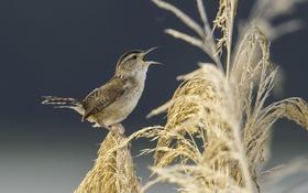 Обои птица, растения, птичка, пение, метелки