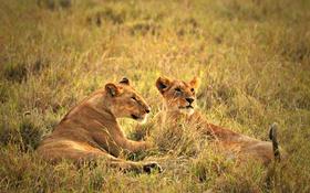 Обои львица, саванна, трава, глядя
