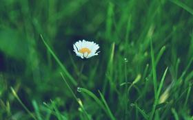 Обои цветок, лепестки, ромашка, белые