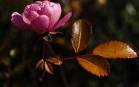 Картинка цветок, листья, макро, лепестки, камелия