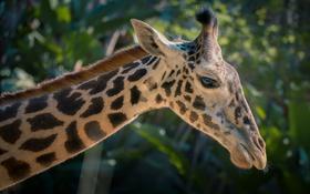 Обои морда, жираф, пятна, профиль, шея