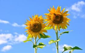 Обои стебель, лепестки, подсолнух, цветы, облака, листья, небо
