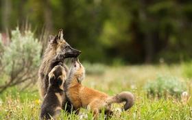 Обои лисы, фон, природа
