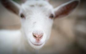 Обои улыбка, фон, овца