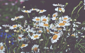 Обои цветы, ромашки, лепестки, белые