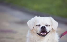 Обои язык, собака, зубы, клыки, улыбается