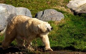 Обои animal, Metro Toronto Zoo, Polar Bear