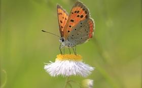 Картинка цветок, бабочка, растение, крылья, насекомое