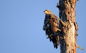 Обои дерево, птица, орел, ствол