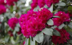 Обои розовая, цветение, кустарник, азалия
