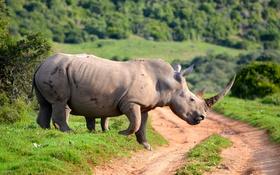 Обои green, road, Rhinoceros, ivory, Horn