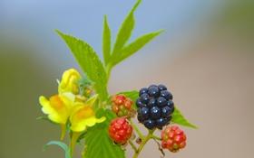 Обои природа, лист, растение, ягода