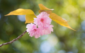 Картинка листья, весна, розовые, цветение, ветка, цветы
