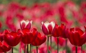 Обои лепестки, сад, стебель, тюльпаны, клумба