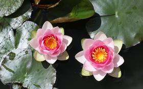 Обои вода, природа, озеро, водяные лилии, листики