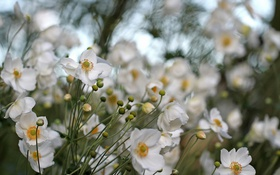 Картинка Flowers, ANEMONE HUPEHENSIS, Anemone