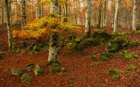Обои мох, осень, деревья, Наварра, лес, Испания
