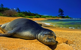 Обои песок, тюлень, берег, котик, небо, пейзаж, море