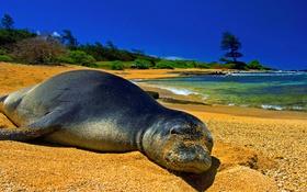 Картинка песок, море, небо, пейзаж, берег, тюлень, котик