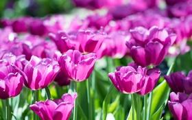 Обои лепестки, сад, тюльпаны, клумба