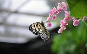 Обои бабочки, цветы, бабочка, насекомое, тайланд