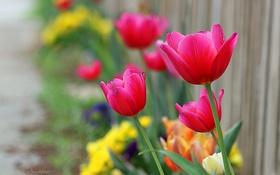 Обои яркие, забор, фокус, тюльпаны