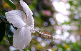 Картинка листва, цветение, белый гибискус