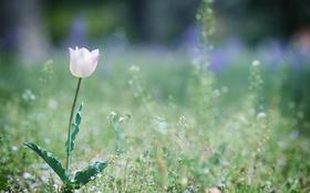 Обои цветок, листья, тюльпан, лепестки