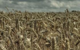 Обои пшеница, поле, природа, урожай, колосья