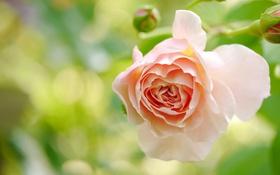 Картинка цветок, макро, роза, кремовая
