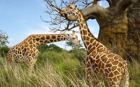 Картинка природа, жираф, сафари