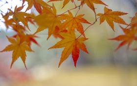 Картинка клен, листья, осень