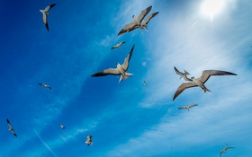 Обои полёт, чайки, небо