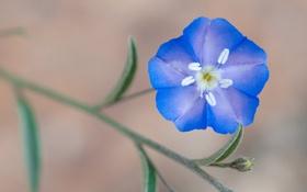 Обои цветок, макро, синий, веточка, стебель