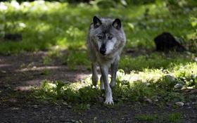 Обои трава, волк, хищник
